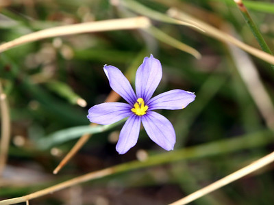 7/6/07 Blue-Eyed Grass (Sisyrichium bellum). Meadow off Bodie Road (marker 169A). Mono County, Eastern Sierra, CA