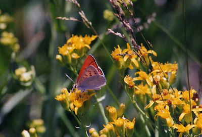 7/5/02 Ruddy Copper? (Lycaena rubidus). Meadow off Bodie Road, Eastern Sierras (>8,000 ft), Mono County, CA
