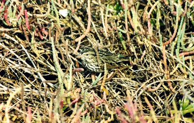 10/27/02 Belding's Savannah Sparrow (Passerculus sandwichensis beldingi). In Pickleweed along Salt Marsh Interpretive Trail, Bolsa Chica Ecological Reserve, Huntington Beach, Orange County, CA