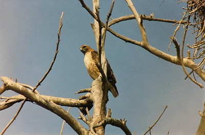 10/27/02 Red-Tailed Hawk (Buteo jamaicensis). Bosla Chica Ecological Reserve, Huntington Beach, Orange County, CA