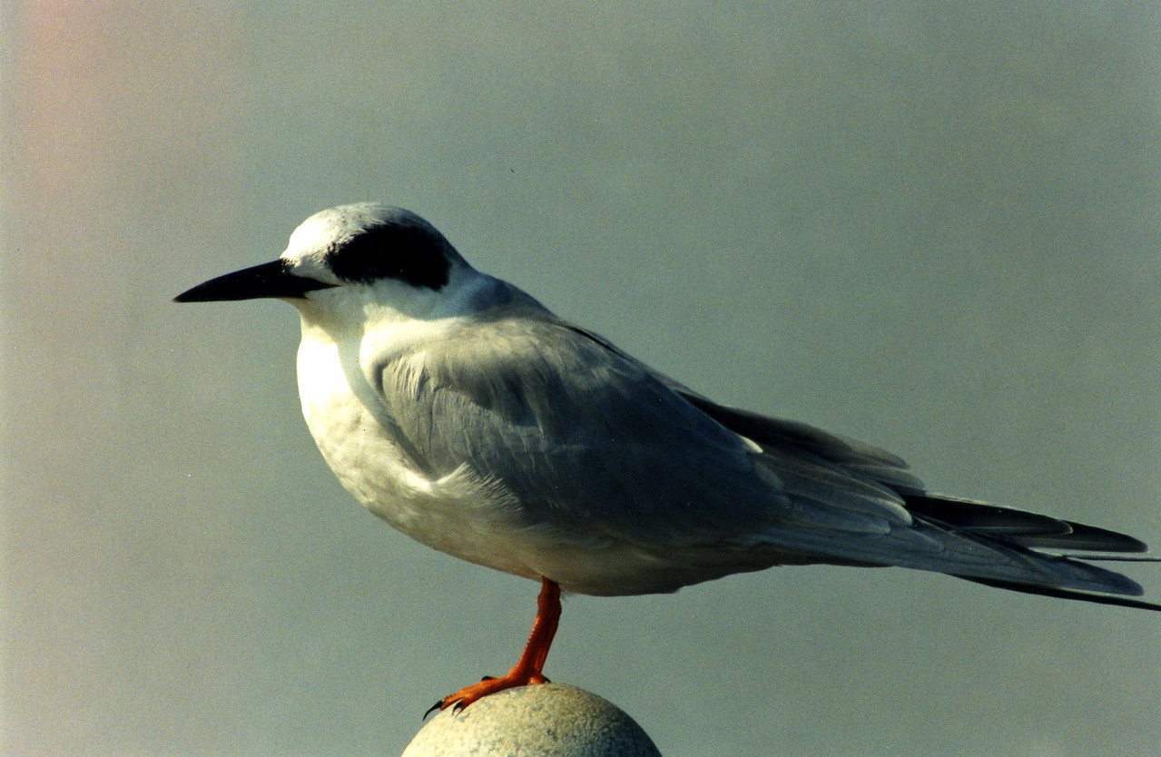 10/27/02 Forster's Tern (Sterna forsteri). Bolsa Chica Ecological Reserve, Outer Bolsa Chica Bay, Huntington Beach, Orange County, CA