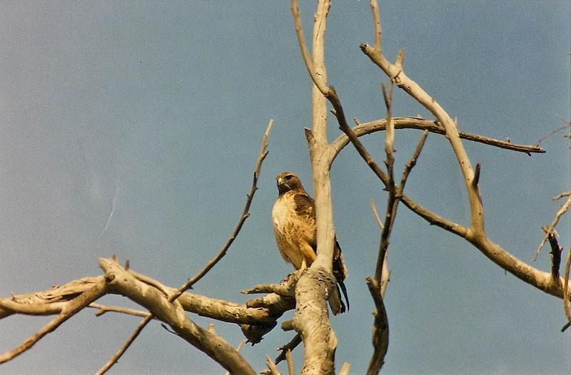 10/27/02 Red-Tailed Hawk (Buteo jamaicensis). Bosla Chica Ecological Reserve, Huntington Beach, Orange County, CA