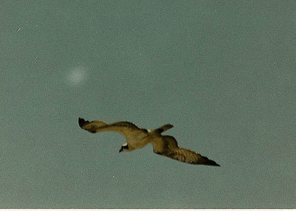 8/4/02 Osprey (Pandion haliaetus). Border Field State Park, Imperial Beach, San Diego County, CA