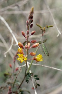 2/6/05 Rush Pea (Caesalpinia virgata). Mecca Hills Wilderness, wash on north (right) side of Box Canyon Rd. (across road from Little Box Canyon Trailhead), west of Meccacopia Trail & east of Sheep Hole Oasis Campground. Mecca Hills, Riverside County, CA