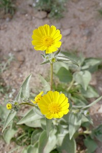 2/6/05 Desert Sunflower (Geraea canescens). Mecca Hills Wilderness, wash north (right) of Box Canyon Rd., west of Sheep Hole Oasis Campground. Mecca Hills, Riverside County, CA