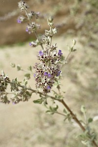 2/6/05 Desert Lavender (Hyptis emoryi). Mecca Hills Wilderness, wash on north (right) side of Box Canyon Rd. (across road from Little Box Canyon Trailhead), west of Meccacopia Trail & east of Sheep Hole Oasis Campground. Mecca Hills, Riverside County, CA