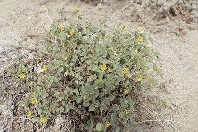 2/6/05 Thick-Leaved Ground Cherry (Physalis crassifolia). Mecca Hills Wilderness, wash on north (right) side of Box Canyon Rd. (across road from Little Box Canyon Trailhead), west of Meccacopia Trail & east of Sheep Hole Oasis Campground. Mecca Hills, Riverside County, CA
