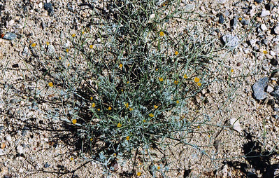 4/4/04 Little Gold Poppy (Eschscholzia minutiflora). Wash north of Box Canyon Road, Mecca Hills, Riverside County, CA