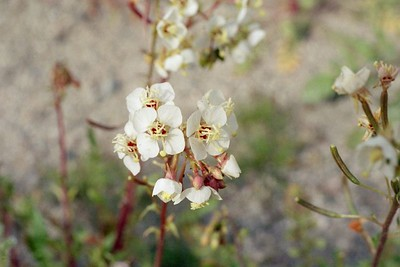 2/6/05 Brown-Eyed Evening Primrose (Camissonia claviformis). Mecca Hills Wilderness, wash on north (right) side of Box Canyon Rd. (across road from Little Box Canyon Trailhead), west of Meccacopia Trail & east of Sheep Hole Oasis Campground. Mecca Hills, Riverside County, CA