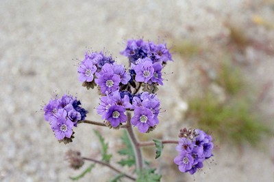 2/6/05 Notch-leaf Phacelia (Phacelia crenulata). Mecca Hills Wilderness: Wash north (right) of Box Canyon Rd., west of Sheep Hole Oasis Campground. Mecca Hills, Riverside County, CA