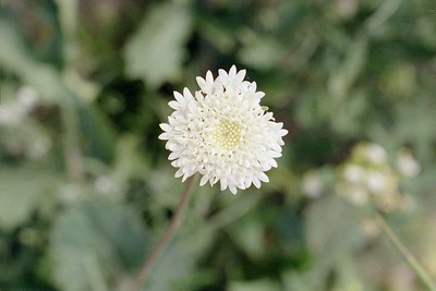 2/6/05 Fremont's Pincushion (Chaenactis fremontii). Mecca Hills Wilderness, wash on north (right) side of Box Canyon Rd. (across road from Little Box Canyon Trailhead), west of Meccacopia Trail & east of Sheep Hole Oasis Campground. Mecca Hills, Riverside County, CA