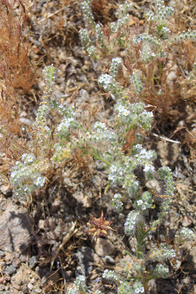 4/3/11Narrow-leaved Cryptantha (Cryptantha angustifolia). Meccacopia trail.