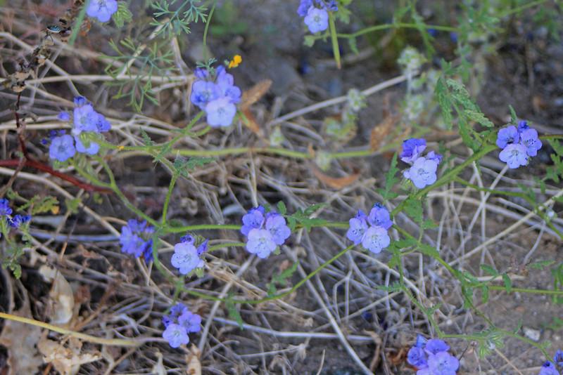4/3/11 Common Phacelia (Phacelia distans), Meccacopia trailhead.
