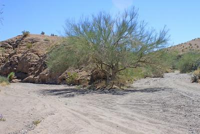 4/3/11 Palo Verde (Cercidium floridum). Meccacopia trailhead.