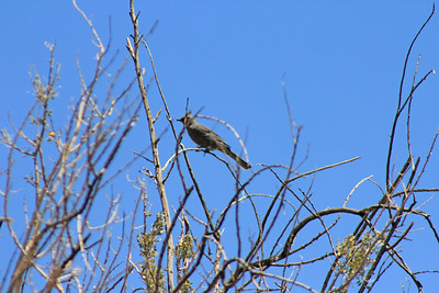 4/3/11 Female Phainopepla/Silky Flycatcher (Phainopepla nitens). Meccacopia trail.