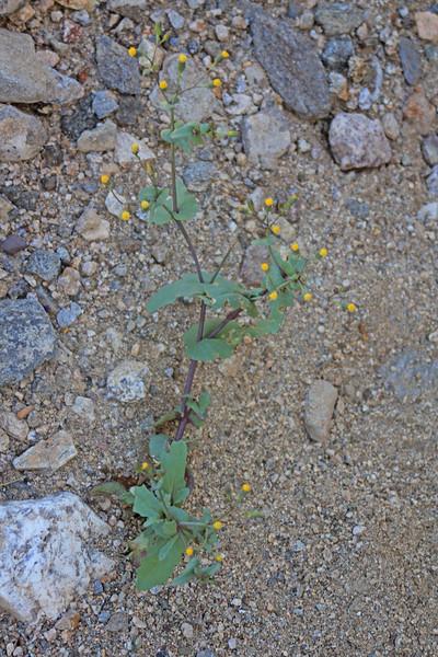 4/3/11 Mojave Ragwort (Senecio mohavensis). Meccacopia trailhead.