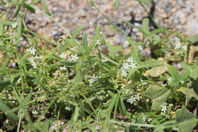 4/3/11 Desert Star-Vine (Brandegea bigelovii). Meccacopia trail.