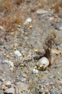 4/3/11 Pebble Pincushion (Chaenactis carphoclinia var. carphoclinia). Meccacopia trailhead.