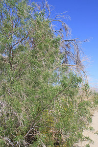 4/3/11 Desert Willow (Chilopsis linearis) not quite in bloom yet at the Meccacopia trailhead.