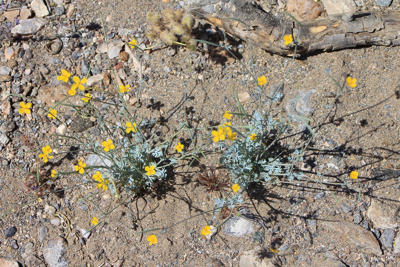 4/3/11 Small-flowered Poppy (Eschscholzia minutiflora). Meccacopia trailhead.