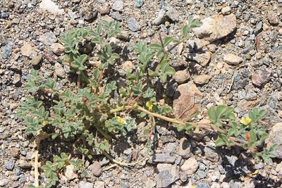4/3/11 Strigose Lotus (Lotus strigosus). Meccacopia trailhead.