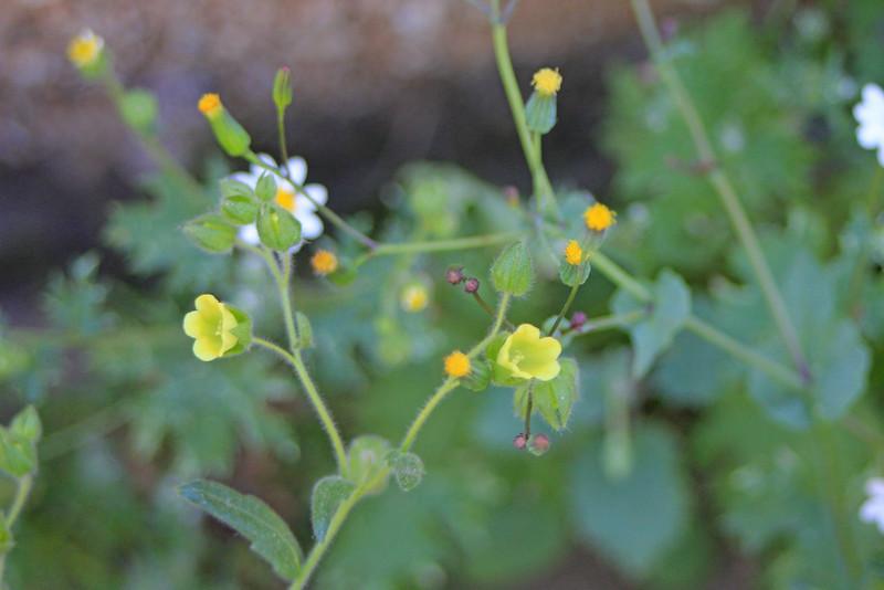 4/3/11 Whispering Bells (Emmenanthe penduliflora var. pendulifora). Meccacopia trailhead.