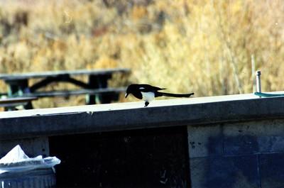 10/19/02 Black-Billed Magpie (Pica hudsonia). Ramp Road, Fishing Access Area, Bridgeport Lake/Reservoir, Bridgeport, Mono County, CA
