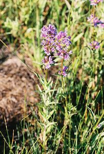 7/6/05 Meadow Penstemon (Penstemon rydbergii). Roadside meadows/pastures off Twin Lakes Rd. Bridgeport Valley, Eastern Sierras, Mono County, CA