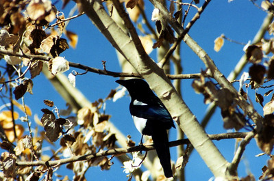 10/19/02 Black-Billed Magpie (Pica hudsonia). Ramp Road, Fishing Access Area, Bridgeport Lake/Reservoir, Bridgeport, Mono County, CA