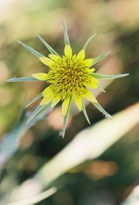 7/6/05 Yellow Salsify (Tragopogon dubius). Roadside meadows/pastures off Twin Lakes Rd. Bridgeport Valley, Eastern Sierras, Mono County, CA
