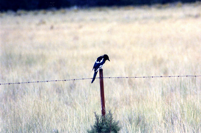 8/21/03 Black-Billed Magpie (Pica hudsonia). Meiss Lake-Sam's Neck Road, Butte Valley Basin Wildlife Area, Siskiyou County, CA