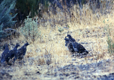 8/21/03 California Quail (Callipepla californica). Meiss Lake-Sam's Neck Road. Butte Valley Basin Wildlife Area, Siskiyou County, CA