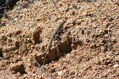 3/4/07 Lizard (unidentified). Tenaja Trail, Cleveland National Forest, Riverside County, CA