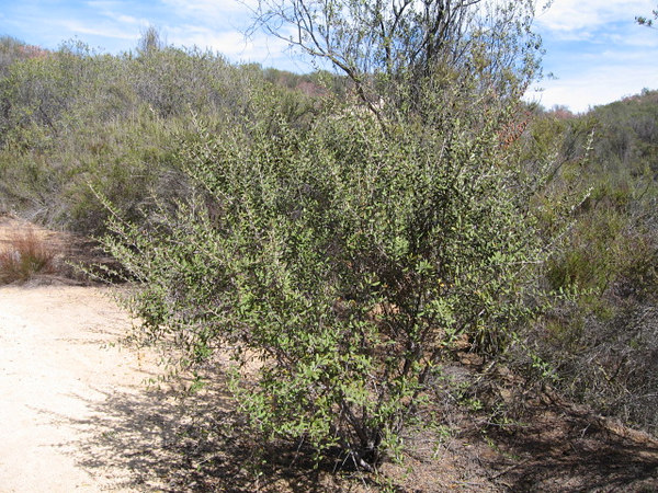 3/4/07 Hoary-Leaf Ceanothus (Ceanothus crassifolius). Tenaja Trail, Cleveland National Forest, Riverside County, CA