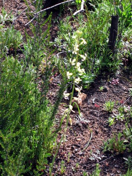3/14/08 Slenderpod Jewelflower (Caulanthus heterophyllus var. pseudosimulans)?. Junction of paved road and 4WD Forest Service Road from Tenaja Trail, Cleveland National Forest, Riverside County, CA