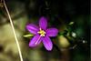 6/3/01 Centaury/Canchalagua (Cenataureum venustum). San Juan Loop Trail, San Mateio Canyon Wilderness, Santa Ana Mountains, Cleveland National Forest, Riverside County, CA