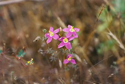 6/5/05 Canchalagua/Centaury (Centaurium venustum). Forest Service Rd @end of Tenaja Rd, Cleveland National Forest, Riverside & San Diego County Line, CA