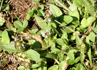 7/8/07 Self Heal (Prunella vulgaris). North Grove meadow / picnic area, Calaveras Big Trees State Park, Calaveras County, CA