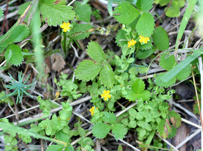 7/8/07 Tinker's Penny (Hypericum anagalloides). North Grove meadow / picnic area, Calaveras Big Trees State Park, Calaveras County, CA