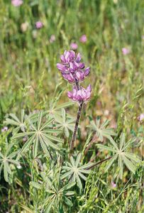 3/20/05 Chick Lupine (Lupinus microcarpus var. horizontalis). Roadside (pullout), south side of Hwy 58 (west of McKittrick) at 7100 Galainena Grd. , Kern County, CA