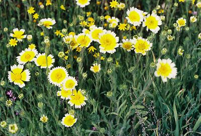 3/20/05 Tidy Tips (Layia platyglossa). Soda Lake Rd @Del Rosa Rd. Carrizo Plain National Monument , San Luis Obispo County, CA