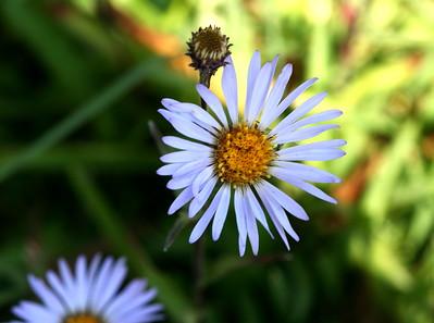 7/9/07 Wandering Daisy? (Erigeron peregrinus). Kay's Silver Lake Resort, Hwy 88E (Carson Pass Hwy), El Dorado National Forest, Sierra Nevada, Amador County, CA