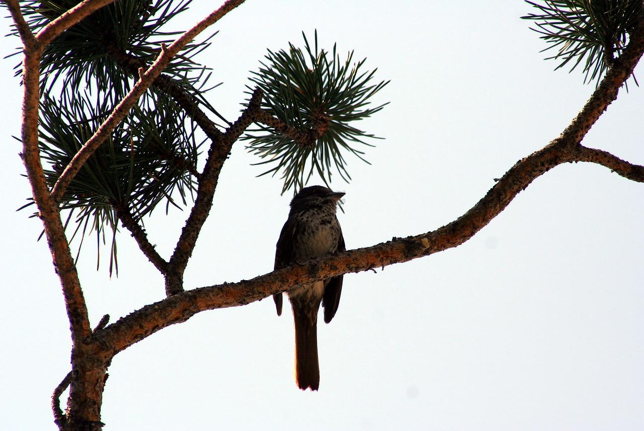 7/9/07 Fox Sparrow (Paserella iliaca). Kay's Silver Lake Resort, Hwy 88E (Carson Pass Hwy), El Dorado National Forest, Sierra Nevada, Amador County, CA