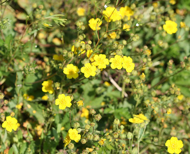 7/9/07 Shrubby Cinquefoil (Potentilla gracilis). Kay's Silver Lake Resort, Hwy 88E (Carson Pass Hwy), El Dorado National Forest, Sierra Nevada, Amador County, CA