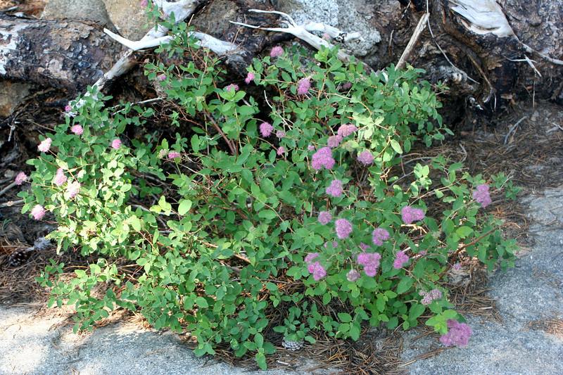 7/9/07 Mountain Spiraea (Spiraea densiflora). Kay's Silver Lake Resort, Hwy 88E (Carson Pass Hwy), El Dorado National Forest, Sierra Nevada, Amador County, CA
