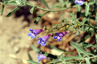 7/9/07 Blue Penstemon (Penstemon laetus). Kay's Silver Lake Resort, Hwy 88E (Carson Pass Hwy), El Dorado National Forest, Sierra Nevada, Amador County, CA