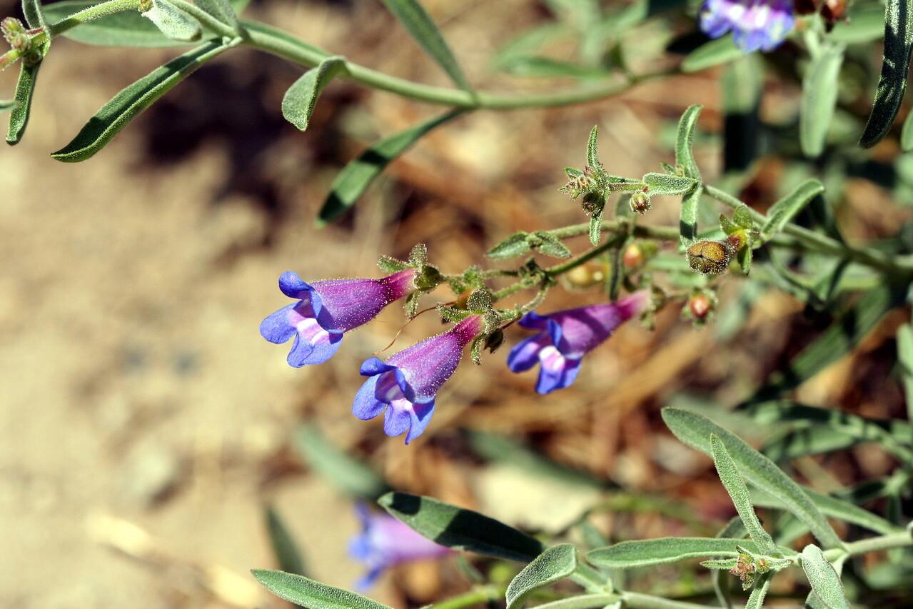7/9/07 Blue Penstemon (Penstemon laetus). Kay's Silver Lake Resort, Hwy 88E (Carson Pass Hwy), El Dorado National Forest, Sierra Nevada, Amador County, CA