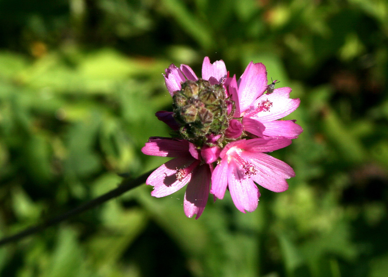 7/9/07 Oregon Checker Bloom (Sidalcea oregana). Roadside >6,000 ft, Hwy 88E (Carson Pass Hwy), El Dorado National Forest, Sierra Nevada, Amador County, CA