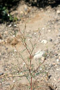 7/9/07 Diffuse Gayophytum (Gayophytum diffusum). Roadside >6,000 ft, Hwy 88E (Carson Pass Hwy), El Dorado National Forest, Sierra Nevada, Amador County, CA