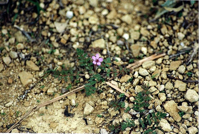 3/11/01 Red-Stemmed Filaree (Erodium cicutarium). Abundant at picnic area near Visitor Center. Late heavy winter rains - cold & overcast today. Charmlee Wilderness Park, Santa Monica Mountains, Malibu, Los Angeles County, CA